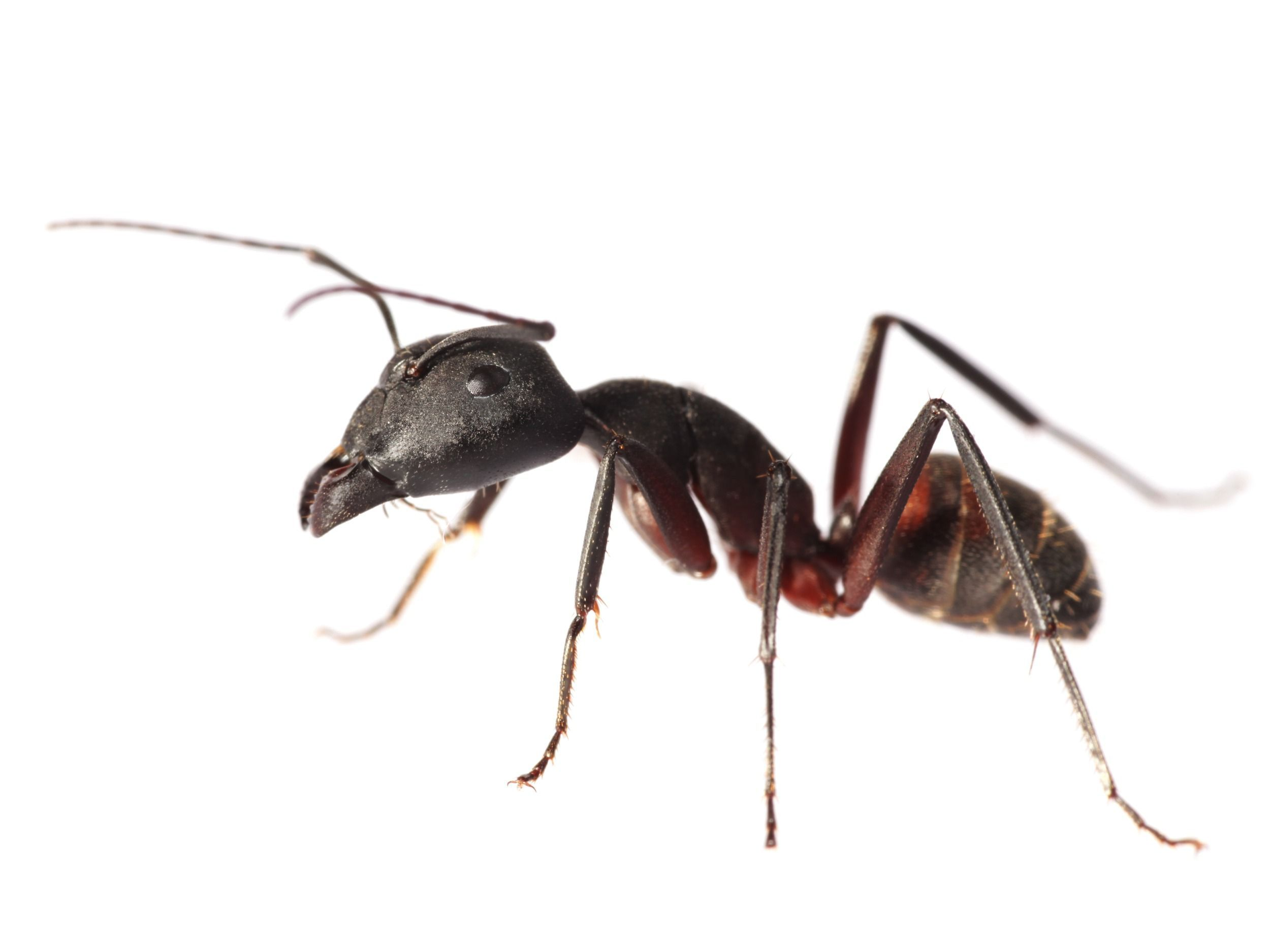 Ant Exterminator Removal Red Deer Protec Pest Control